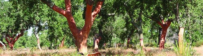 Slika 4-Hrast plutovec gozd